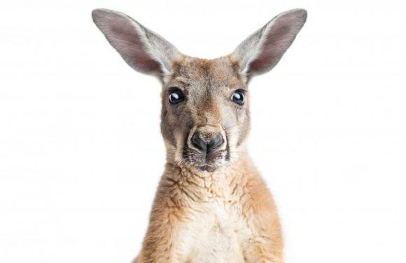 Roopert's kangaroo ancestry